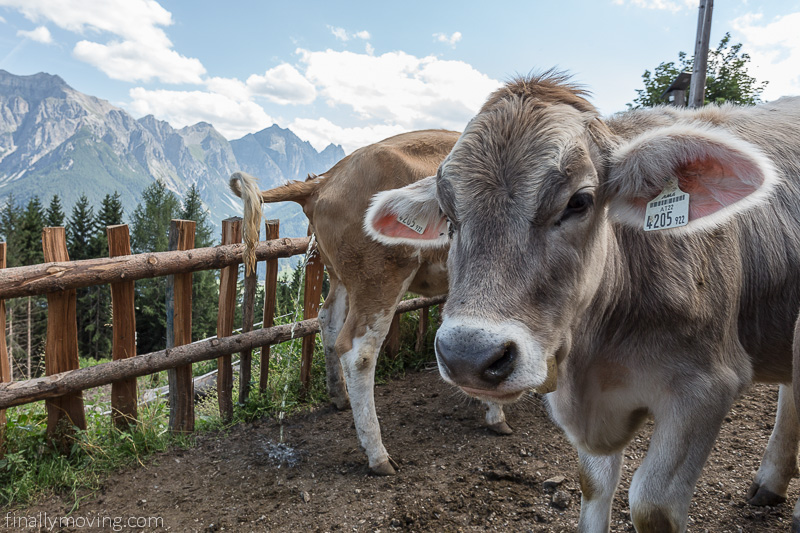 Alpine cows at the Galtalm